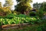 Potager dans le jardin
