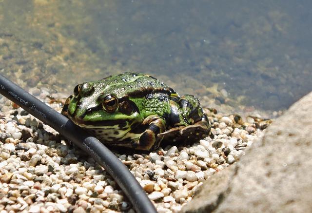 grenouille bassin de jardin atelier de l'habitat