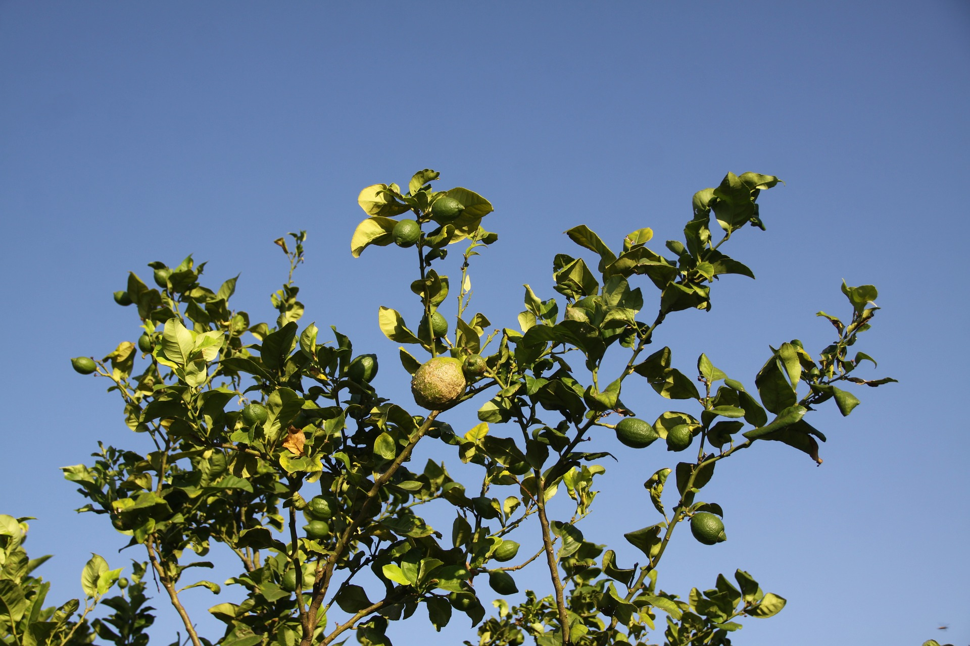 lemon-tree-1349367_1920