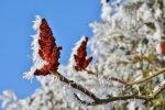 plante recouverte de neige