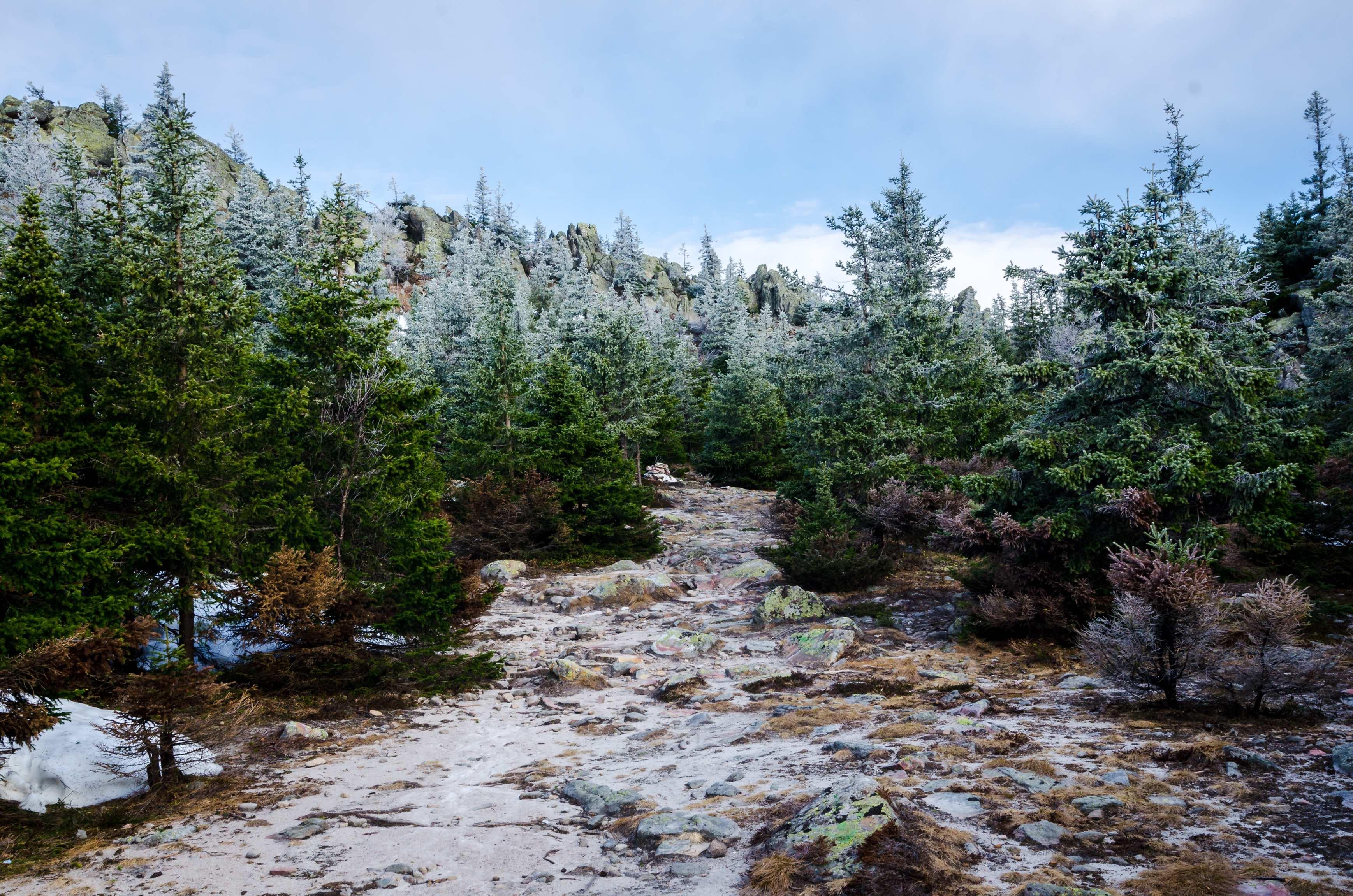 Forêt de sapins et sol enneigé